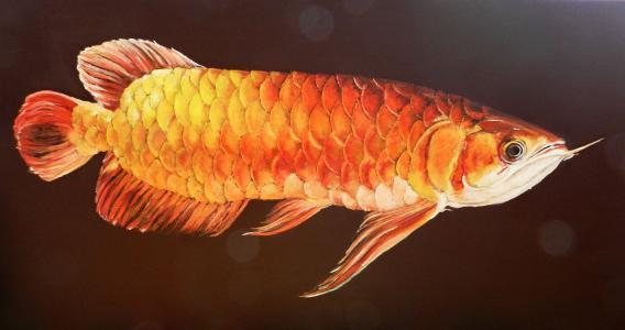 金龙鱼价格多少钱一条
